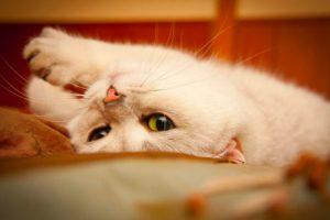 Siklus reproduksi pada kucing