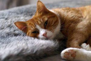 Merawat kucing paska pengebirian untuk mempercepat pemulihan