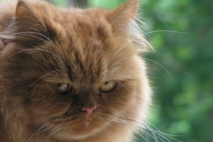kucing tersinggung