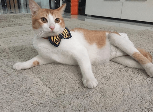 cat rear leg paralysis