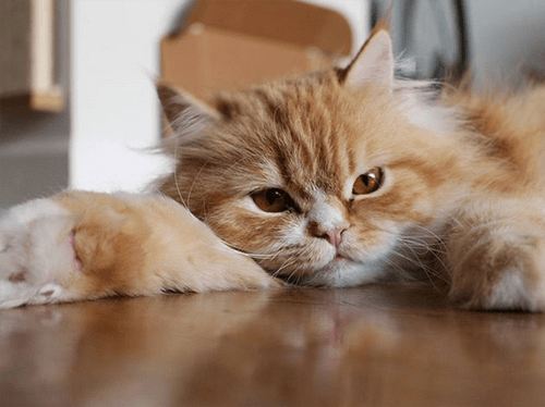 ginger persian rescue cat