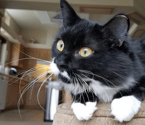 kitten vestibular injury cat