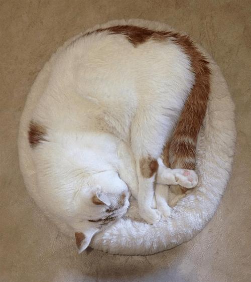 cerebellar hypoplasia cat with unique hind legs epilepsy