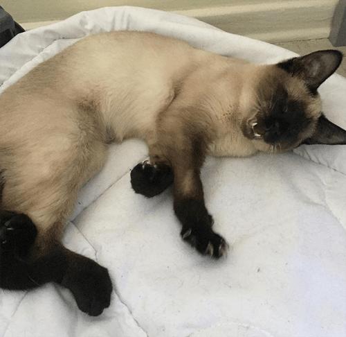blind siamese cat kitten micropthalmia