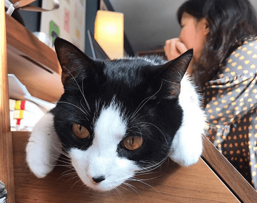 cat with liver shunt