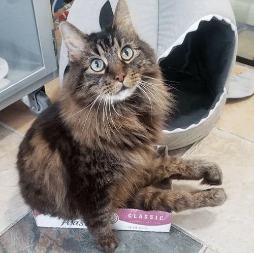paralyzed maine coon diaper cat