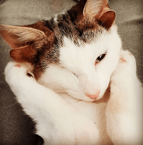 kitten with four ears and one eye