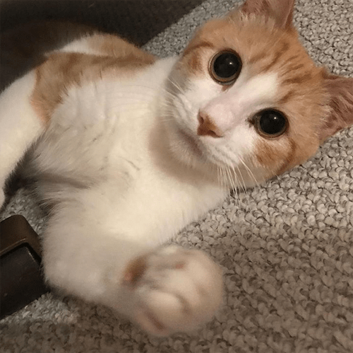 orange and white rescue cat with respiratory issues