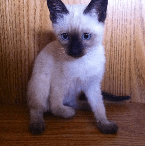 three legged siamese cat