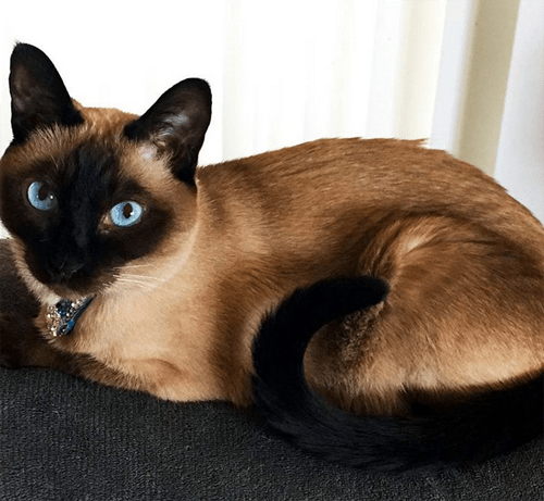 three legged siamese cat