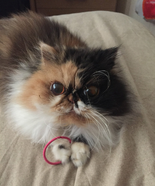 blind persian calico rescue cat