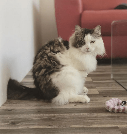 fluffy cat with radial hypoplasia
