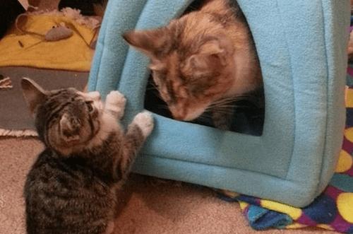 blind calico cat kitten