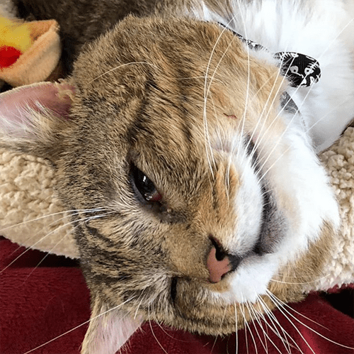 tabby and white cat with entriopion
