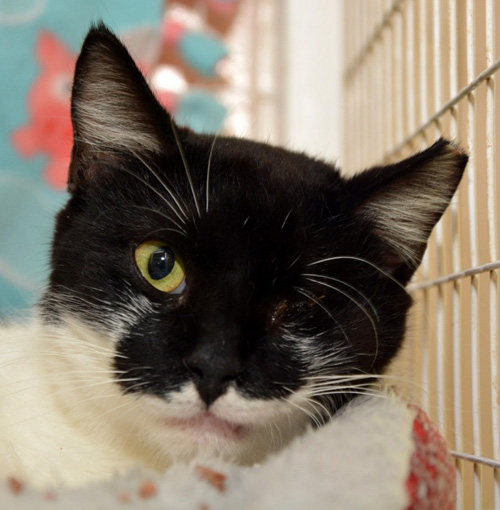 blind and deaf black and white cat