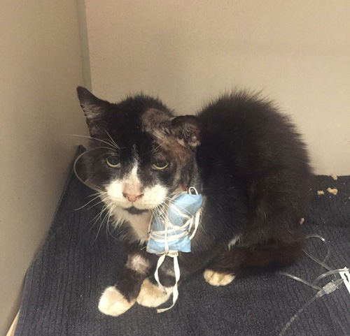 former feral tuxedo cat with fiv