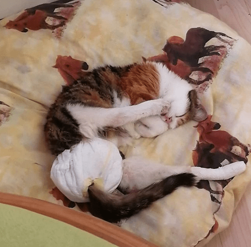calico cat with hind leg paralysis