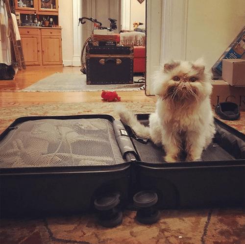 special needs persian rescue cat