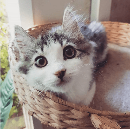 fluffy rescue kitten with feline asthma and chronic gastritis