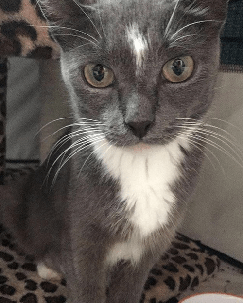 grey and white senior cat