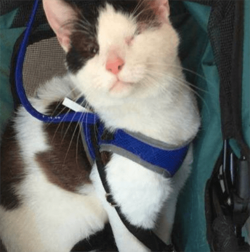 rescue cat with micropthalmia