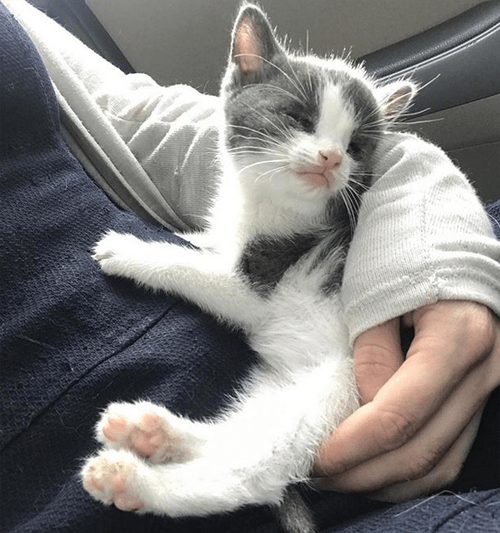 blind gray and white kitten with hydrocephalus