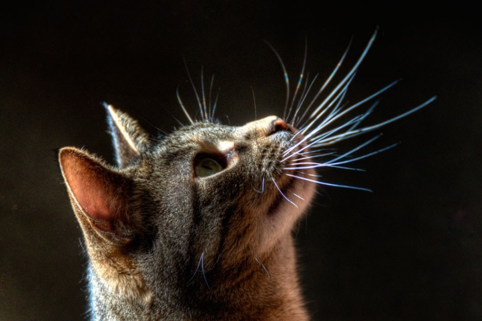 Whisker Fatigue in Cats: What it is and how you can help