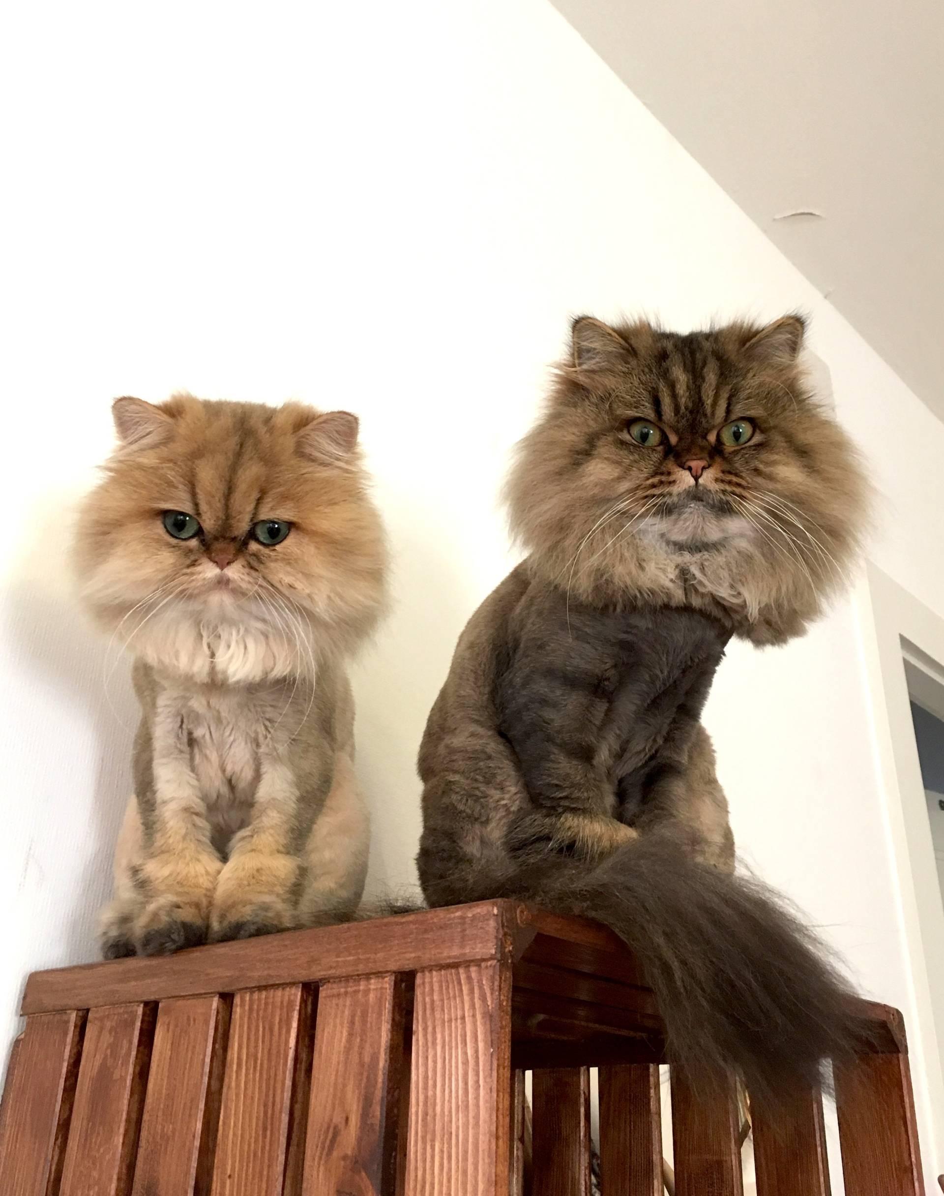Persian Cat Lion Cut : persian, Persian, Lifestyle