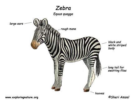 AJHS Virtual Zoo / Zebra