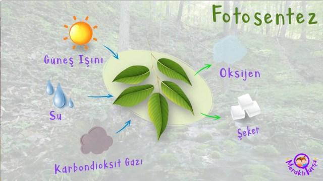 fotosentez, fotosentez nedir, meraklı turşu, eğlenceli bilim, kız çocuk, erkek çocuk, çocuklar için, ekoloji, bitki, bitkiler, canlılar dünyası