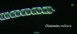 diatomee-melosira
