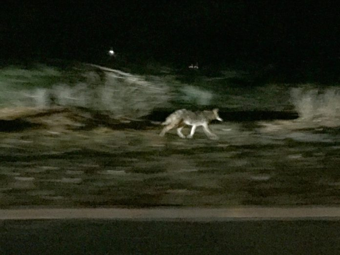 Coyote Sighting in Lawrence