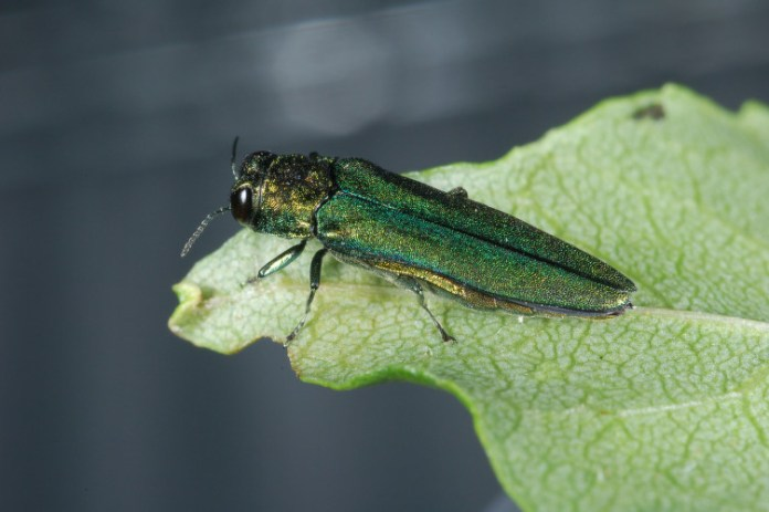 Tree-Killing Emerald Ash Borer Spreads to Five NJ Counties