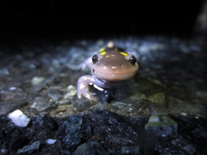 Amphibian Crossing Project Training Session To Be Held in Hopewell Borough
