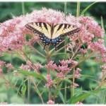 joepye_swallowtail