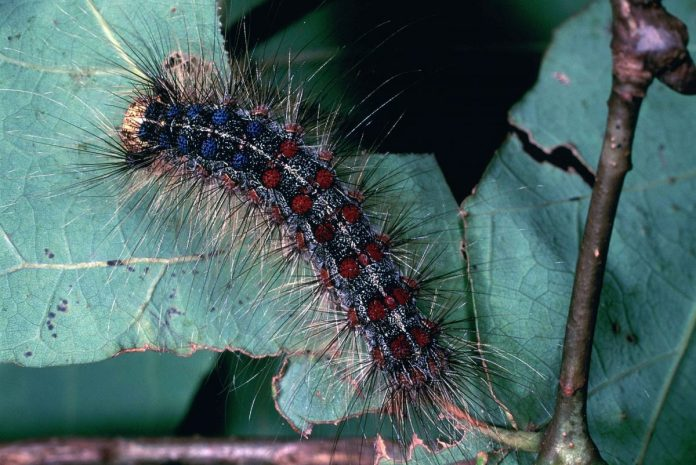 NJ Dept of Agriculture to host gypsy moth spray information session