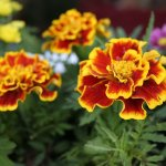 red-and-yellow-american-marigold-flowers-pv