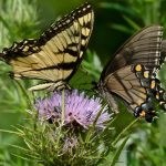 Butterflies Two Phases of Tiger Swallowtails by Jim Amon