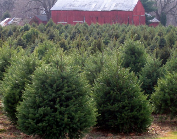 NJ Dept of Agriculture Encourages Purchase of NJ Christmas Trees
