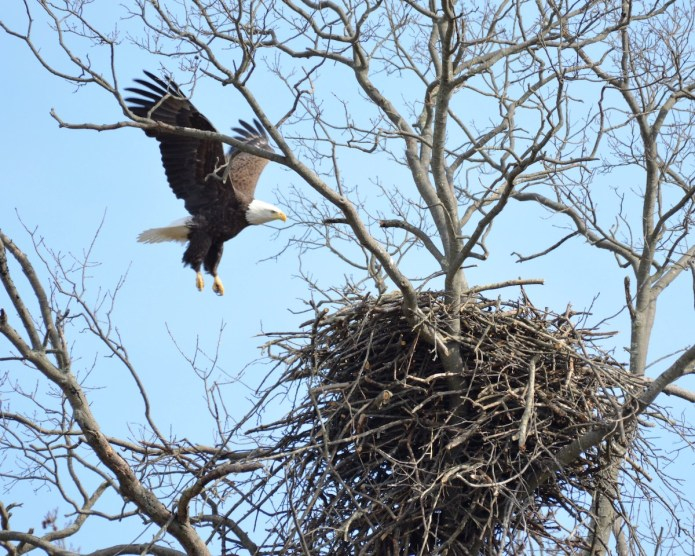 MC Park Commission offers in-person and virtual programs to help public keep 'eyes on eagles'