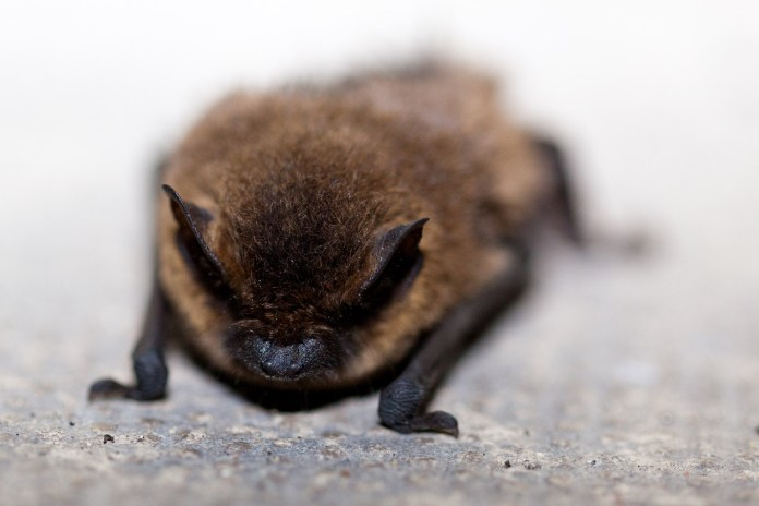 Bat tests positive for rabies in Hopewell Township