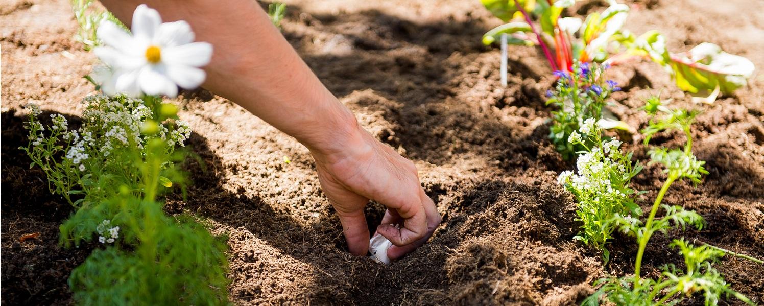Hand planting seeds in garden soil