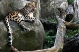 2013. Amur Leopard
