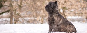 Cairn Terrier in the snow