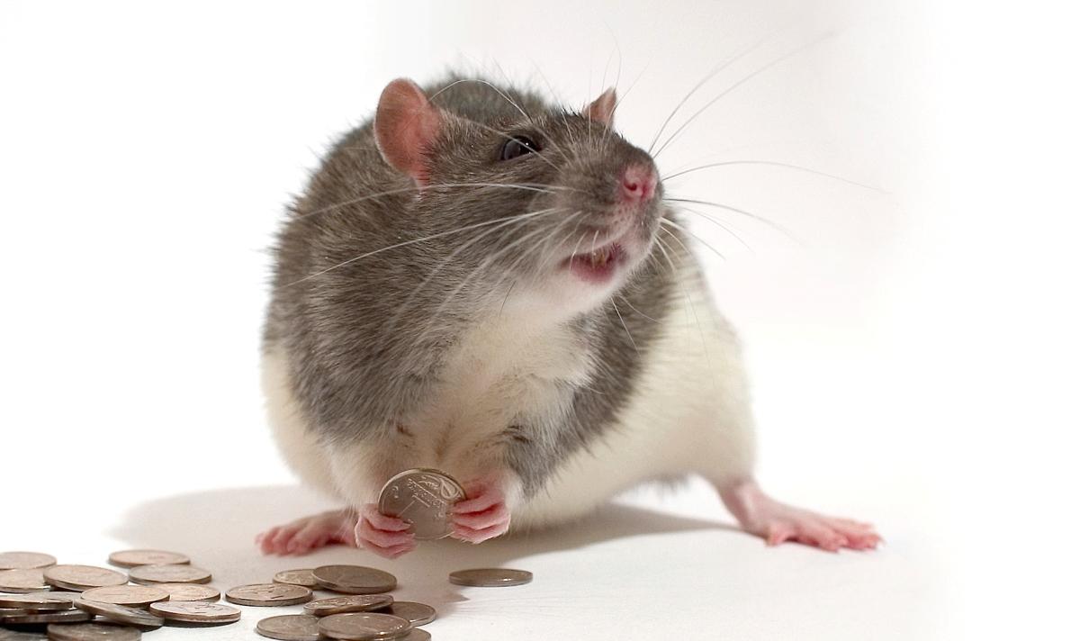 Rat_money_Alexey_Krasavin_new