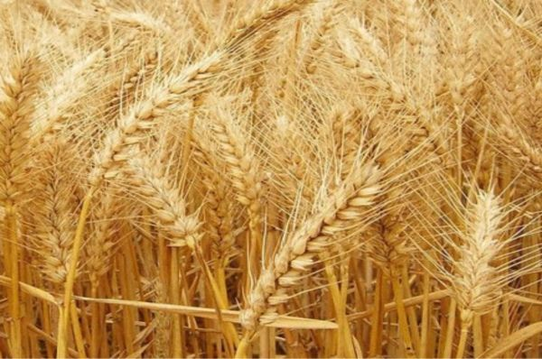 Ethiopia to cut wheat import by more than half – Minister of Agriculture