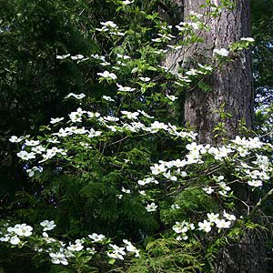 Chester-Bush-Dogwood