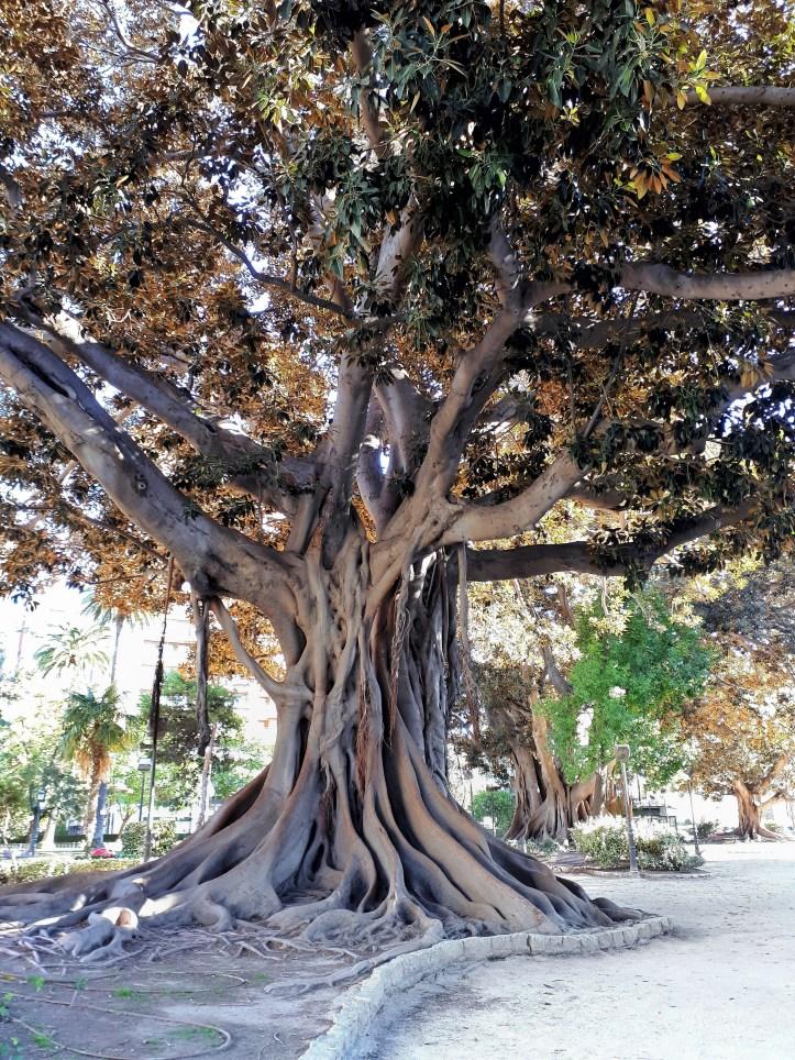 Ficus - Valencia -1