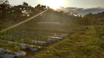 Veg crops