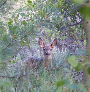 fawn on Spooner Lake